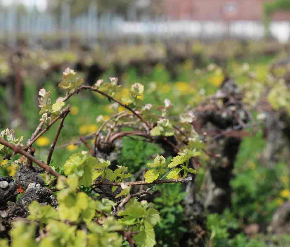 Der älteste Weinberg der Welt