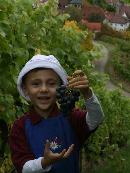 Weinlese im Weingut Kuhnle